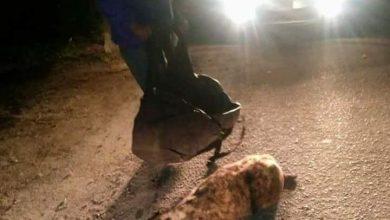 صورة ظهور حيوانات مفترسة في شوارع الإسكندرية.. صور